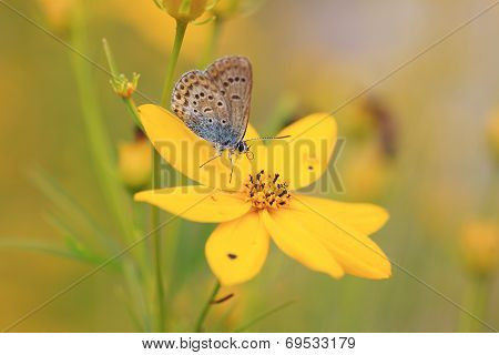 Common Blue (polyommatus Icarus) On A Oxeye Flower
