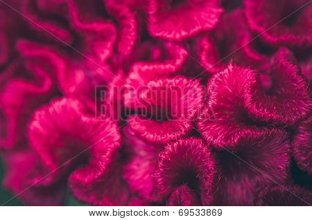 Celosia Or Wool Flowers Or Cockscomb Flower Vintage