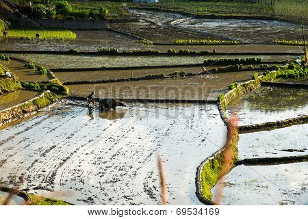 Working In A Paddy Field