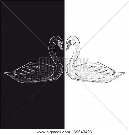 Pair of swans. Black and white.