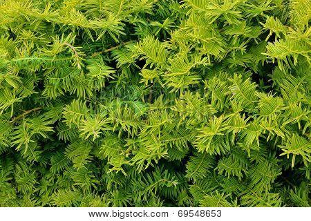 Evergreen Luscious Foliage