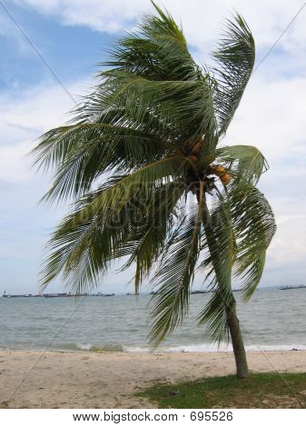 Wind Toss Coconut By The Beach