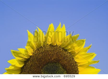 SunflowerRise Copy