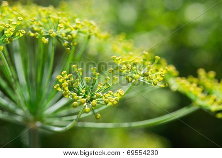 Dill  Fennel  flower