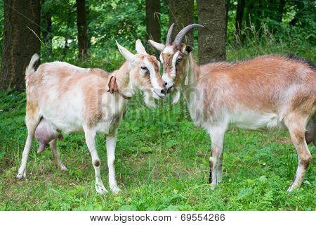 Portrait of a funny goats