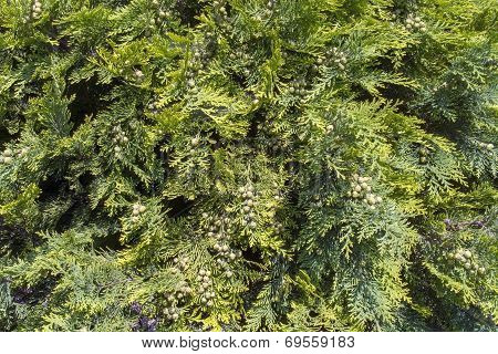 White Cedar (thuja Occidentalis)