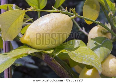 Lemon (citrus X Limon)