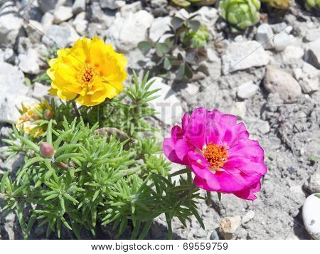 Moss-rose (portulaca Grandiflora)