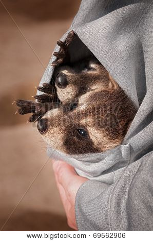 Two Baby Raccoons (procyon Lotor) In Sweatshirt Pocket