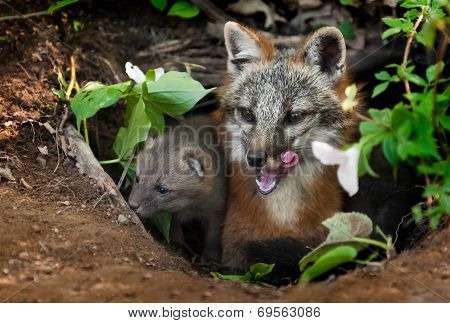 Grey Fox Vixen & Kit (urocyon Cinereoargenteus) In Den - Yawn