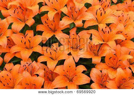 Wet Orange Lilies