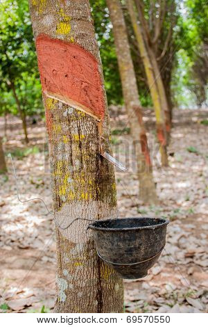 Milk Rubber Tree