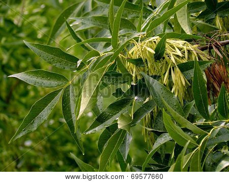 Fraxinus pennsylvanica. Green ash-tree branch with samaras
