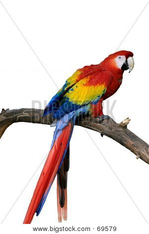 Red Parrot Isolated