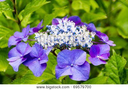 Beautiful Purple Hortensia Flower Closeup