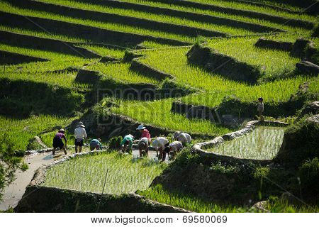 Working On Rice Terrace