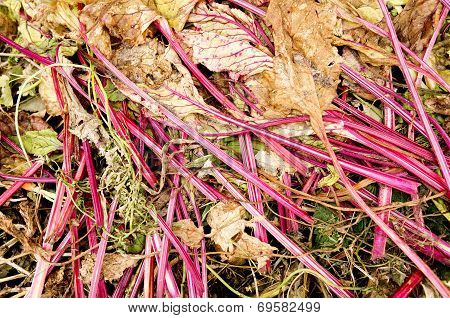 A compost heap with beet leaves.