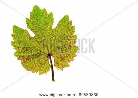 Vine Leaf (Vitis Vinifera)