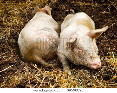 Two Pigs In Pigpen