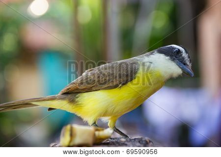 Curious Yellow Bird (great Kiskedee)