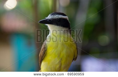 Front View Of A Great Kiskedee