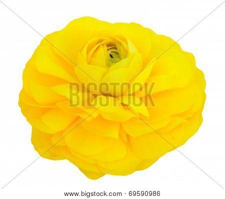 Single Yellow Buttercup