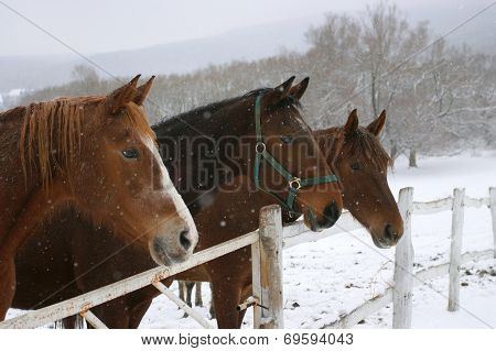 Headshots of chestnut horses in a frosty day