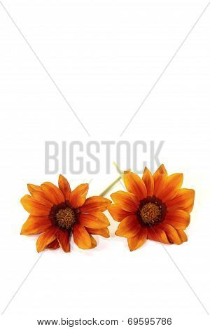Two Orange And Brown Midday Flower