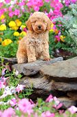 stock photo of poodle  - A tiny little Toy Poodle puppy sits on a rock wall in a colorful garden - JPG