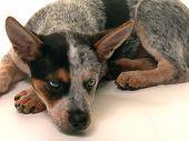 pic of blue heeler  - Blue heeler puppy lying down - JPG