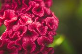 image of cockscomb  - Celosia or Wool flowers or Cockscomb flower in the garden or nature park vintage - JPG