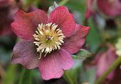 stock photo of helleborus  - Christmas rose flower macro  - JPG