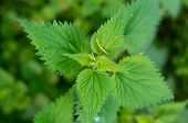 stock photo of sting  - closeup of a green stinging nettle from above - JPG