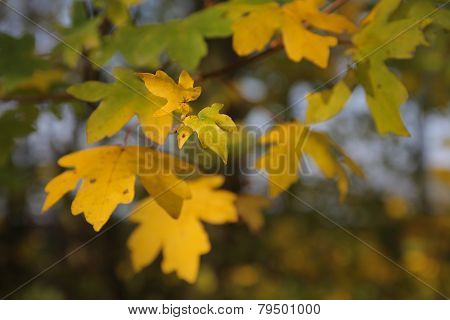 Detail Of Maple Leaves
