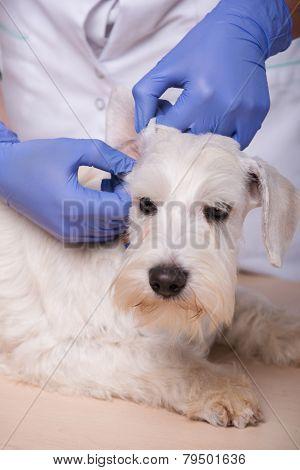Female veterinarian examines little dog teeth and ears