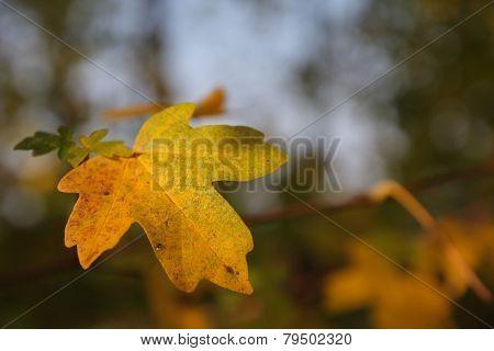 Detail Of Maple Leaf