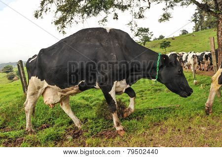 Diary Cow Walking Up A Hill Kicking Dirt