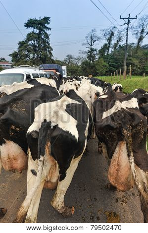 Herd Of Cows On Road Blocking Traffic