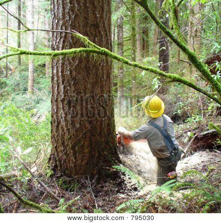 Logger Falling Large Tree 2