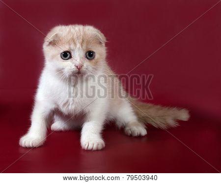 Ginger Tabby Cat Scottish Fold Sitting On Burgundy