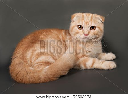 Striped Red Fluffy Cat Scottish Fold Lying On Gray