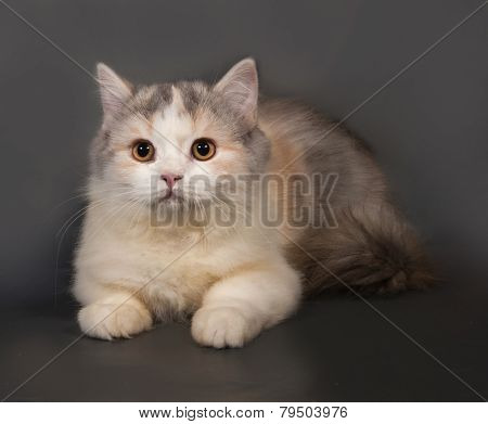 Tricolor Cat Scottish Fold Lies On Gray