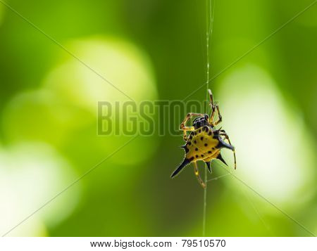 A Spiny Orb Weaver Spider