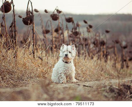 dog breeds White Terrier walks in the autumn field