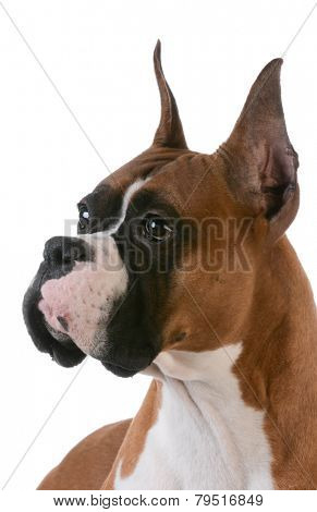 portrait of purebred boxer on white background
