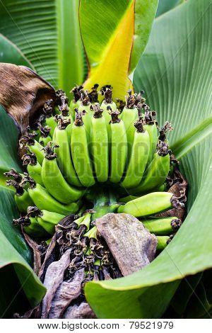 Banana Blossom In The Garden