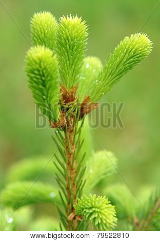 Young Shoots Of Spruce