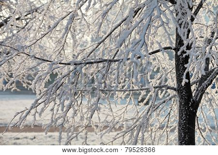 Hoarfrost on branches of a tree