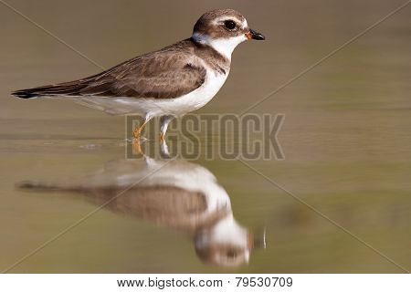 Semipalmated plover with reflection
