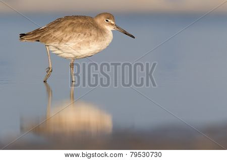 willet resting in morning sun